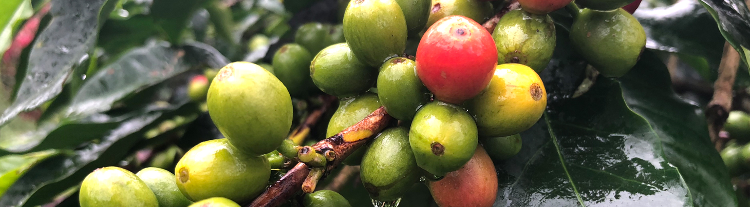 Sumatran Coffee Cherries